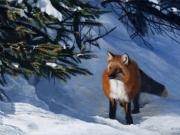 Fox Glow - Terry Isaac