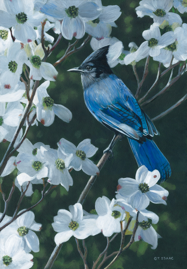 Stellars Jay and Dogwood - Terry Isaac