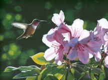Rufous and Rhodies