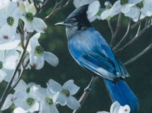 Stellars Jay and Dogwood
