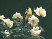 Finch, Fence and Flowers, by Terry Isaac