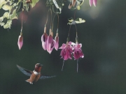 Rufous and Fuchsia, by Terry Isaac