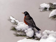 Winter Pine Robin, by Terry Isaac