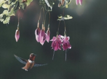 Rufous and Fuchsia