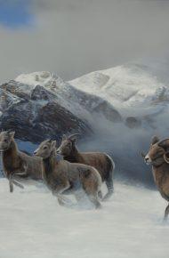On the Run (Bighorn)