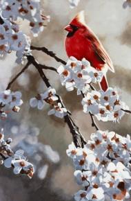 Spring Light Cardinal