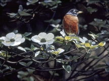 Backyard Robin by Terry Isaac
