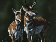 Pronghorn Pair - Terry Isaac