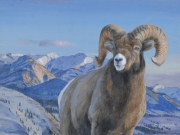 Bighorn Sheep  by Terry Isaac