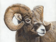 Winter Bighorn Sheep by Terry Isaac