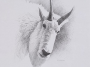 Mountain Goat Sketch by Terry Isaac
