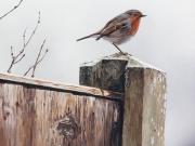 English Robin - Terry Isaac