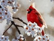 Spring Light Cardinal - Terry Isaac