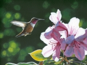 Rufous And Rhodies - Terry Isaac
