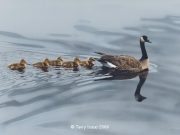 Mother Goose, by Terry Isaac