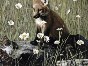 young-fox-and-wild-daisies