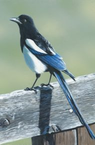 Magpie and Fence