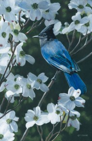 Stellar's Jay and Dogwood