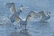Wings on Water – Swans
