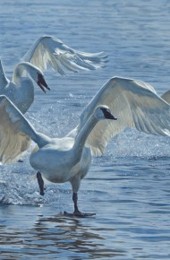 Wings on Water – Swans